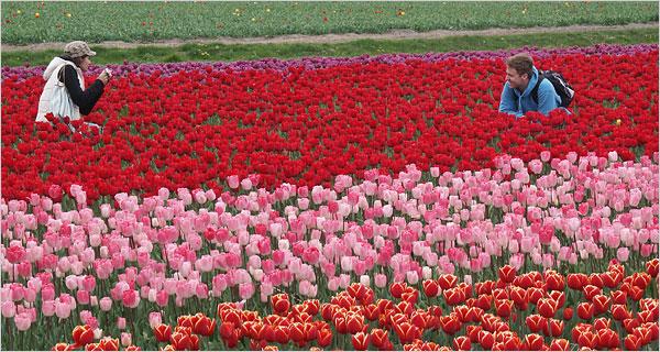 tulip-600-734872